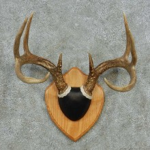 Whitetail Deer Antler Plaque Mount #13593 For Sale @ The Taxidermy Store