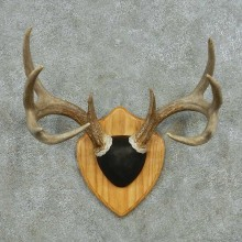 Whitetail Deer Antler Plaque Mount #13595 For Sale @ The Taxidermy Store