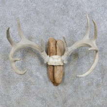 Whitetail Antler Mount For Sale #13940 For Sale @ The Taxidermy Store