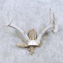 Whitetail Deer Antler Taxidermy Mount For Sale #13941 For Sale @ The Taxidermy Store