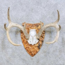 Whitetail Deer Antler Taxidermy Mount For Sale #13944 For Sale @ The Taxidermy Store
