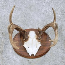 Whitetail Deer Antler Taxidermy Mount For Sale #13946 For Sale @ The Taxidermy Store