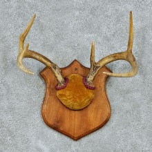 Whitetail Deer Antlers Plaque Taxidermy Mount #13104 For Sale @ The Taxidermy Store