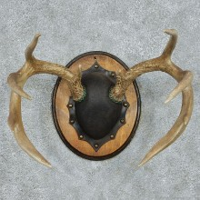 Whitetail Deer Antlers Plaque Taxidermy Mount #13105 For Sale @ The Taxidermy Store