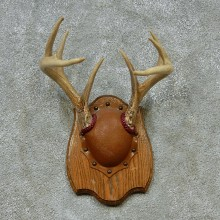 Whitetail Deer Antlers Plaque Taxidermy Mount #13106 For Sale @ The Taxidermy Store