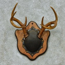 Whitetail Deer Antlers Plaque Taxidermy Mount #13107 For Sale @ The Taxidermy Store