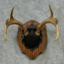 Whitetail Deer Antlers Plaque Taxidermy Mount #13110 For Sale @ The Taxidermy Store