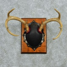 Whitetail Deer Antlers Plaque Taxidermy Mount #12975 For Sale @ The Taxidermy Store