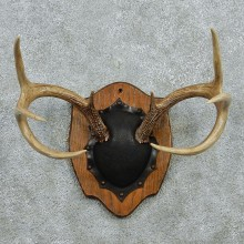 Whitetail Deer Antlers Plaque Taxidermy Mount #12978 For Sale @ The Taxidermy Store