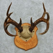 Whitetail Deer Antlers Plaque Taxidermy Mount #12980 For Sale @ The Taxidermy Store