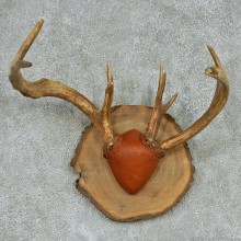 Whitetail Deer Antlers Plaque Mount #13140 For Sale @ The Taxidermy Store