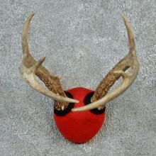 Whitetail Deer Antler Mount