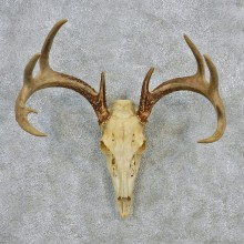 Whitetail Deer European Antler Skull Taxidermy Mount #12619 For Sale @ The Taxidermy Store