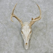 Whitetail Deer European Antler Skull Taxidermy Mount #12623 For Sale @ The Taxidermy Store