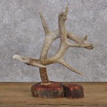 Eagle Head Carving on a Whitetail Deer Antler #10748 For Sale @ The Taxidermy Store
