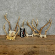 Whitetail Deer Antler sets For Sale #16134 @ The Taxidermy Store