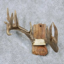 Whitetail Antler Taxidermy Mount For Sale #13926 For Sale @ The Taxidermy Store