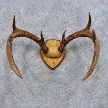 Whitetail Deer Antler Plaque Mount For Sale #14548 @ The Taxidermy Store