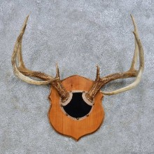 Whitetail Deer Antler Plaque Mount For Sale #14654 @ The Taxidermy Store
