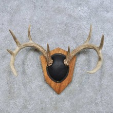 Whitetail Deer Antler Plaque Mount For Sale #14658 @ The Taxidermy Store