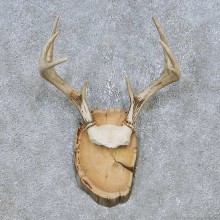 Whitetail Deer Antler Plaque Mount For Sale #14734 @ The Taxidermy Store
