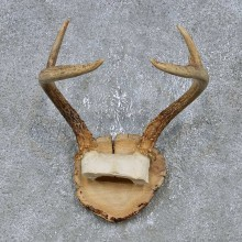 Whitetail Deer Antler Plaque Mount For Sale #14735 @ The Taxidermy Store