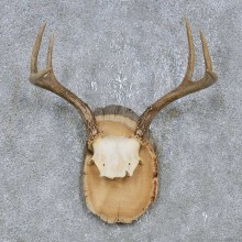 Whitetail Deer Antler Plaque Mount For Sale #14736 @ The Taxidermy Store