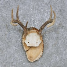 Whitetail Deer Antler Plaque Mount For Sale #14738 @ The Taxidermy Store