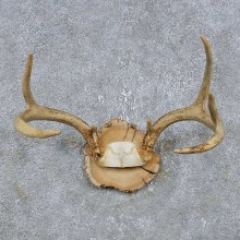 Whitetail Deer Antler Plaque Mount For Sale #14740 @ The Taxidermy Store