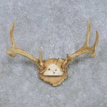 Whitetail Deer Antler Plaque Mount For Sale #14743 @ The Taxidermy Store