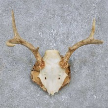 Whitetail Deer Antler Plaque Mount For Sale #14749 @ The Taxidermy Store