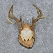 Whitetail Deer Antler Mount For Sale #14761 @ The Taxidermy Store