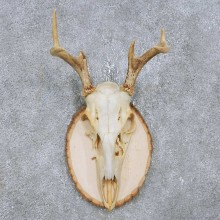 Whitetail Deer Antler Plaque Mount For Sale #14757 @ The Taxidermy Store