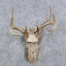 Whitetail Deer Antler Plaque Mount For Sale #14759 @ The Taxidermy Store