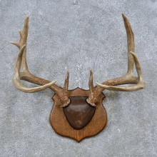 Whitetail Deer Antler Plaque Mount For Sale #14767 @ The Taxidermy Store
