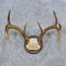 Whitetail Deer Antler Plaque Mount For Sale #14770 @ The Taxidermy Store