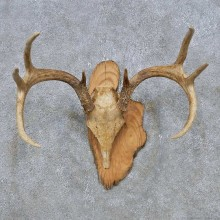 Whitetail Deer Antler Plaque Mount For Sale #14771 @ The Taxidermy Store