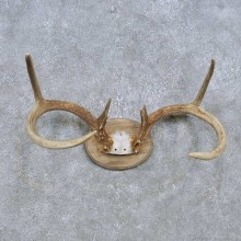 Whitetail Deer Antler Plaque Mount For Sale #14773 @ The Taxidermy Store