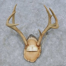 Whitetail Deer Antler Plaque Mount For Sale #14776 @ The Taxidermy Store