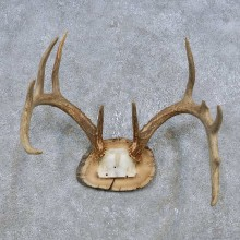 Whitetail Deer Antler Plaque Mount For Sale #14777 @ The Taxidermy Store
