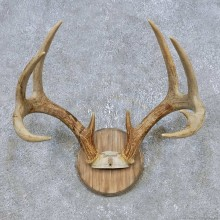 Whitetail Deer Antler Plaque Mount For Sale #14778 @ The Taxidermy Store