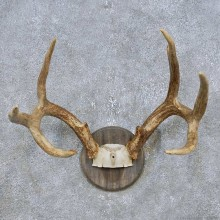 Whitetail Deer Antler Plaque Mount For Sale #14779 @ The Taxidermy Store