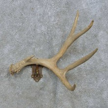 Whitetail Deer Antler Coat Hanger For Sale #15171 @ The Taxidermy Store