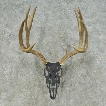 Whitetail Deer Antler Mount For Sale #16259 @ The Taxidermy Store