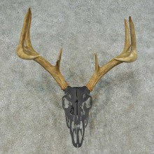 Whitetail Deer Antler Mount For Sale #16260 @ The Taxidermy Store