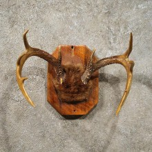 Whitetail Deer Antler Plaque #10938 - For Sale - The Taxidermy Store