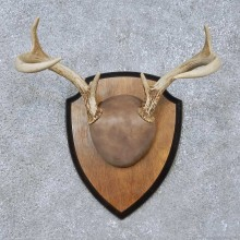 Whitetail Deer Antler Plaque Mount For Sale #15065 @ The Taxidermy Store