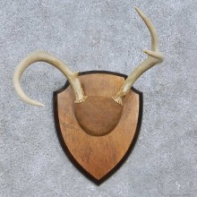 Whitetail Deer Antler Plaque Mount For Sale #15066 @ The Taxidermy Store
