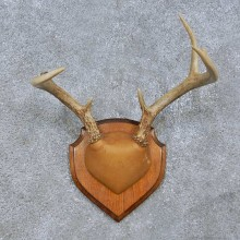 Whitetail Deer Antler Plaque Mount For Sale #15067 @ The Taxidermy Store