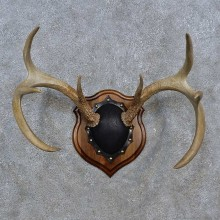 Whitetail Deer Antler Plaque For Sale #15237 @ The Taxidermy Store